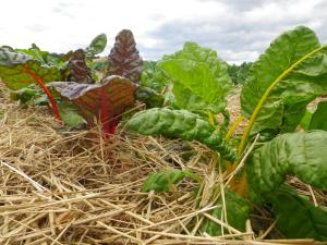 Rainbow chard growing in garden